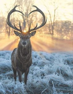 Red Deer Stag (Cervus elaphus) - Least Concern Deer Wallpaper, Animal Wallpaper, Nature Animals, Animals And Pets, Cute Animals, Beautiful Creatures, Animals Beautiful, Jolie Photo, Spirit Animal