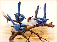 Fairy Wrens by Eric Shepherd Small Birds, Colorful Birds, Pet Birds, Bird Drawings, Animal Drawings, Image Deco, Decoupage, Kinds Of Birds, Australian Animals