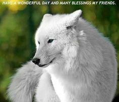 Awesome white coat  blue eyes/hybrid wolf
