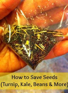 How to Save Seeds (from Kale, Turnip, Beans & more)