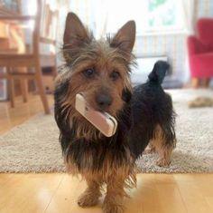 Australian Terrier. Plucky, spirited, and smart.