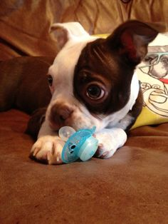 Cute Little Dog Protecting the Pacifier - Ruby at 5 Months Old (Photo) - http://www.bterrier.com/cute-little-dog-protecting-the-pacifier-ruby-at-5-months-old-photo/