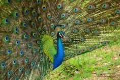Peacock, Yala National Park, Sri Lanka #Peacock #Yala #NationalPark #SriLanka Beautiful Birds, Beautiful World, Island Nations, Gods Creation, World Famous, Sri Lanka, Mother Nature, Peacock, Soda