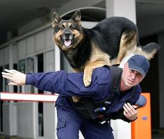 Pitchers+of+Police+Dogs | Police and their Service Dogs