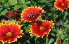 Gaillardia, the state wildflower of Oklahoma   Red Dirt Ramblings.
