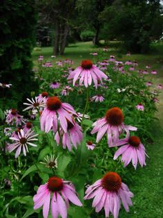 Echinacea purpurea - Purple Coneflower: Available at Prairie Moon Nursery Prairie Planting, Prairie Garden, Red Sunflowers, Drought Tolerant Landscape, Sun Loving Plants, Moon Nursery, Dry Creek, Live Plants, Flower Beds