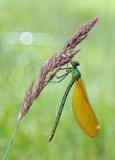 ** Dragonfly