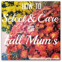How to Select And Care for Fall Mums!