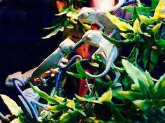 Multiple Chameleons - Kameleon in Avonturia