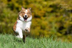 Peanut (my Sheltie puppy) running ... Dog, photography, Animal, photos, Hund, Austria,   Nature's Wonder Nelix aka Peanut Sheltie, Dog Photography, Austria, Corgi, Fox, Puppies, Running, Nature, Photos