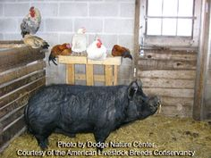 The Guinea Hog is a small, black breed of swine that is unique to the United States. Also known as the Pineywoods Guinea, Guinea Forest Hog, Acorn Eater, and Yard Pig, the breed was once the most numerous pig breed found on homesteads in the Southeast. Today there are fewer than 200.