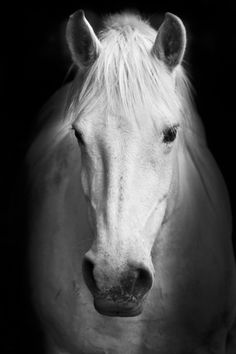 white horse head - Bing Images