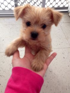 Our little Lucy! Yorkie pom mix puppy <3