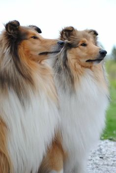 The Shetland Sheepdog originated in the and its ancestors were from Scotland, which worked as herding dogs. These early dogs were fairly Collie Puppies, Collie Dog, Dogs And Puppies, Doggies, Sheep Dog Puppy, Dog Cat, Beautiful Dogs, Animals Beautiful, Shetland Sheepdog Puppies