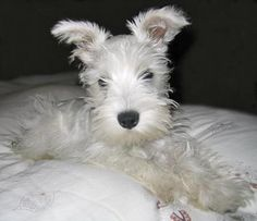 In the future, I am going to own a white mini schnauzer<3 He will be named King Raynesfurd Francis :) Oh yeah