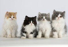 katzenbabys lustig   Perserkatzen: Geschwister-Bande - Katzenbabys: Süße kleine Racker