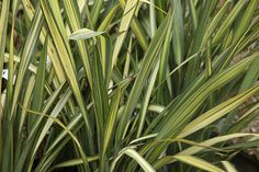Buy New Zealand flax Phormium 'Apricot Queen': Delivery by Crocus