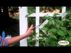 How To Prune And Feed Clematis (For A Longer Bloom Season) - Bing video Clematis Care, Clematis Trellis, Outdoor Plants, Garden Plants, Blue And Purple Flowers, Flowering Vines, Planting Flowers, Flower Gardening, Plant Care