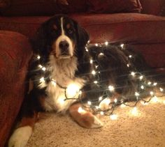 Someone's getting in the Christmas spirit! Hoops the Bernese Mountain Dog belongs to Lynne and Bob Leed of DogWatch of Susquehanna Valley, Inc, and is a frequent star of their Facebook page. Hugs to you, Hoops!