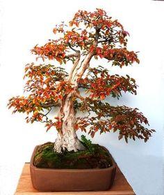 bonsai beuk - Google zoeken
