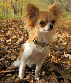 Chihuahua!!! I want one like this ❤️