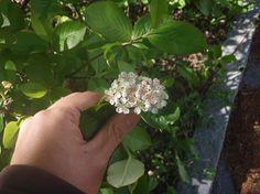 アロニア - スウェーデン生活便り 写真はかなり背の低い木であるが、アロニア(Aronia)と言う花の様だ。北アメリカ原産らしい。スウェーデン名はAroniasläktet。