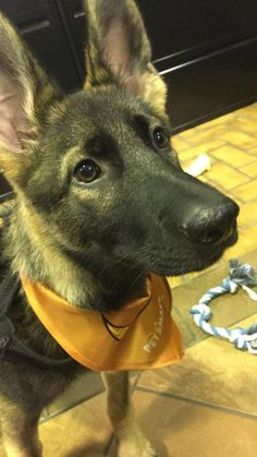 Got to dog sit my boss 3 month old German Shepherd today at work. Best work day Ive had in a while. https://i.redd.it/rcbnz5desguz.jpg