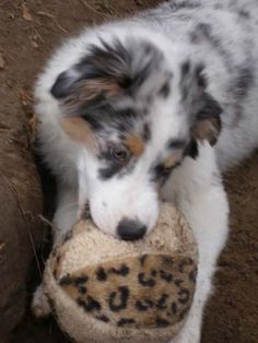Robin Australian Shepherds ~ More Aussies' Antics