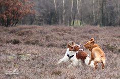 Actiefotografie: Welsh Springer Spaniel en Nova Scotia Duck Tolling Retriever spelen