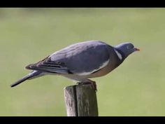 Paloma Torcaz o solo Torcaz Cantando Sonido para Llamar El Mejor - YouTube Pigeon, Bird, Youtube, Animals, Birds, Get Well Soon, Animales, Animaux, Animal