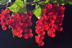 Currant Fruit, Currant Berry, Free Pictures, Free Images, Red Velvet Cake, Photo Café, Garden Web, Black Currants, Colorful Cakes