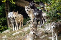 Stunning Wolves