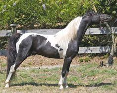 Master's painted Kid Ryan-American Shetland-horses and foals | ... Horses, Ponies, Miniature Horses, Boarding, Training, Lessons