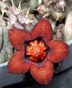 \ Huerniopsis-decipiens-STAPELIA-ARIOCARPUS-RARE-orchid-desert-succulent