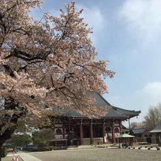 Ikegami Honmonji y cereza.  # Templo # Sakura
