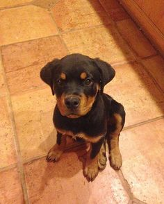 Things that make you go AWW! Like puppies, bunnies, babies, and so on. A place for really cute pictures and videos! Rottweiler Puppies, Cute Puppies, Cute Pictures, Cute Animals, Dogs, Instagram Posts, Bunnies, Meet, Pretty Animals
