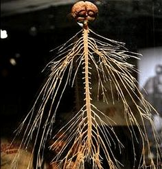 Nervous system | Body Worlds