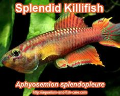 Splendid Killifish