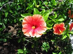 #Pink #Cozumel #Mexico #CozumelMexico #Flower #Flowers #Plant #Plants #Pretty #Beauty #Beautiful #Outside #Nature #MotherNature #Green