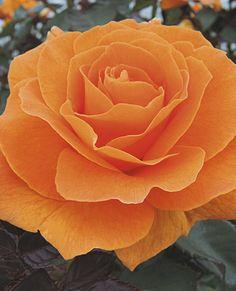 JP: Vavoom™ (Top Notch) - Glowing Yellow-orange Orange Floribunda Roses