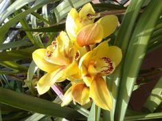 Orchidea - Margherita