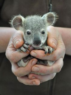 Mother of God, this tiny, adorable Koala made my heart stop.  I would LOVE, LOVE, LOVE to adopt him!!!!!!!