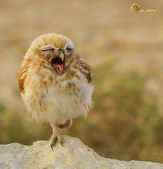 ~~Little owl 9 by aljpri~~