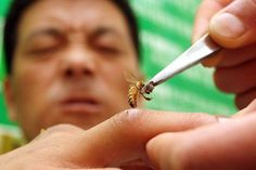 Bee venom therapy has a 3,000-year history in China, is the part of apitherapy which utilizes bee venom in the treatment of body health. Apitherapy is the use of beehive products, including honey, pollen, propolis, royal jelly, bee venom. It has been used since ancient times to treat arthritis, rheumatism, back pain, skin diseases and in this modern age as an alternative therapy to treat multiple sclerosis. Bee venom comes from the stingers of honey bees who use it in defence of the bee…