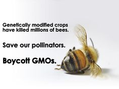 Many GMO crops are engineered to produce their own pesticide (such as Bt toxin), while others have been created to withstand large applications of herbicides like Roundup. Both have had devastating consequences for pollinating species like honeybees.