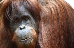 """""""They say that if you give a chimpanzee a screwdriver, he'll break it; if you give a gorilla a screwdriver, he'll toss it over his shoulder; but if you give an orangutan a screwdriver, he'll open up his cage and walk away."""" - An Orangutan learns to fish - The New Yorker"""