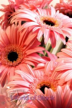 Coral Gerber Daisies as Bride's Bouquet  LOVE THEM!!
