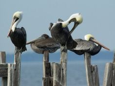 Pelicans just chillin'