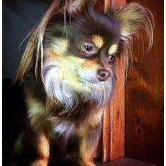 My long hair chihuahua - Buster