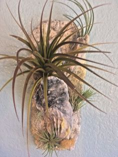 New! Live Air Plants on simulated stone w/shell wall hanger handmade ps nature #PsNature